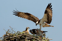 Male Osprey returning to nest with fish