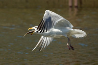 Herring Gull with Alewife Fish