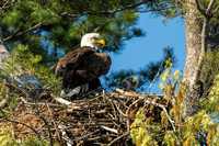 Bald Eagle in nest with chicks