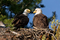 Bald Eagles tending nest