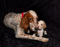 English Setter with 4 week old pup