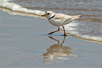 Male Piping Plover