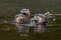 North American River Otter Family