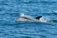 North American White Sided Dolphin