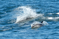 North American White Sided Dolphins