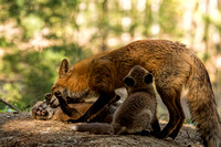 Fox feeding fox kits