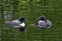 Loons with Baby Loons