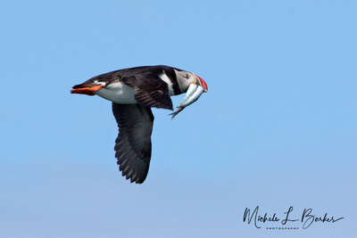 Atlantic Puffin in flight with fish