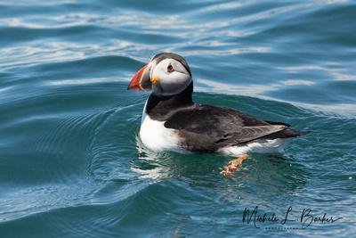 Atlantic Puffin, Machias Seal Island