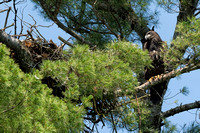 Immature Bald Eagle sitting by nest