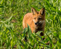 Fox Kit in Cornfield