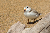 Female Piping Plover