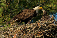 Bald Eagle feeding chick