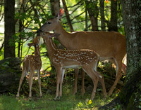 White Tail Deer with Fawns