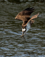 Osprey dive position